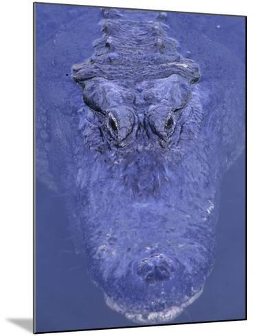 American Alligator in Water-Daniel Cox-Mounted Photographic Print