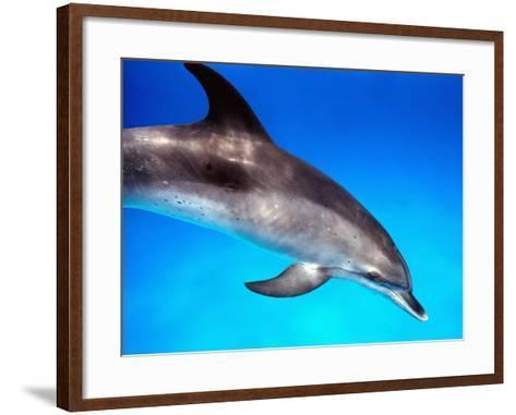 Atlantic Spotted Dolphin-Bill Varie-Framed Art Print