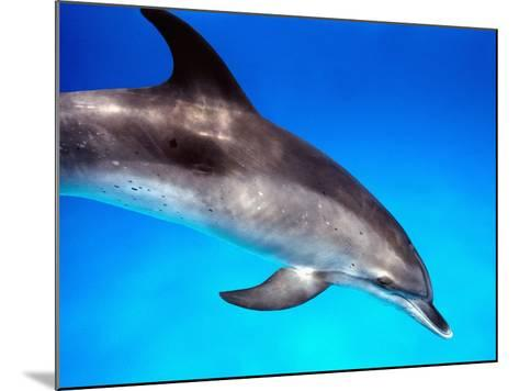 Atlantic Spotted Dolphin-Bill Varie-Mounted Photographic Print
