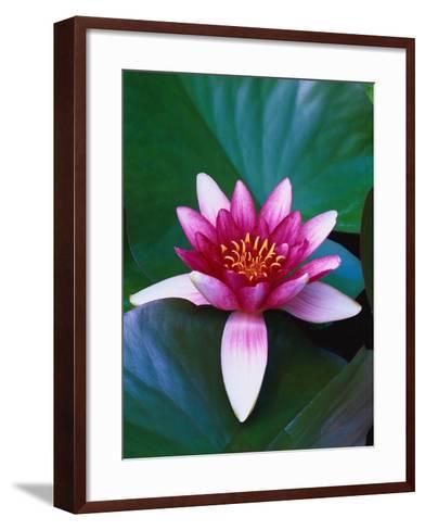 Red Water Lily-Robert Marien-Framed Art Print