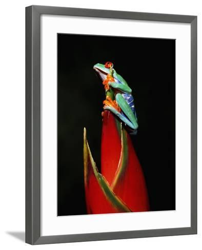 Red-Eyed Tree Frog-Robert Marien-Framed Art Print