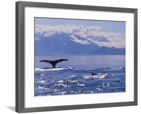 Tail of a Humpback Whale in Frederick Sound--Framed Art Print