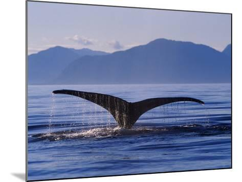 Humpback Whale Diving--Mounted Photographic Print