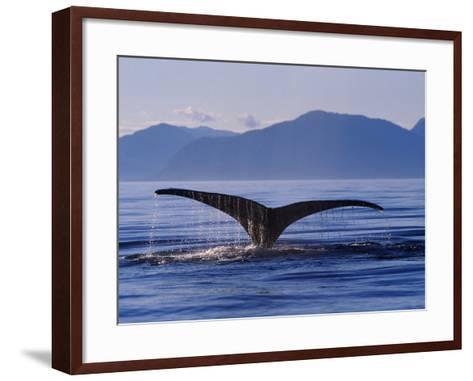 Humpback Whale Diving--Framed Art Print