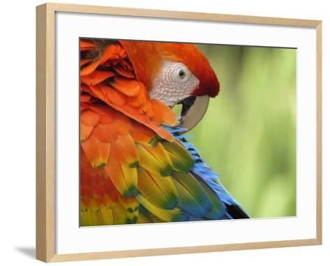Colorful Scarlet Macaw-Ralph Clevenger-Framed Art Print