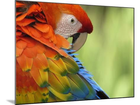 Colorful Scarlet Macaw-Ralph Clevenger-Mounted Photographic Print