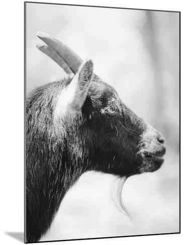 Side of a Goat's Head-Henry Horenstein-Mounted Photographic Print