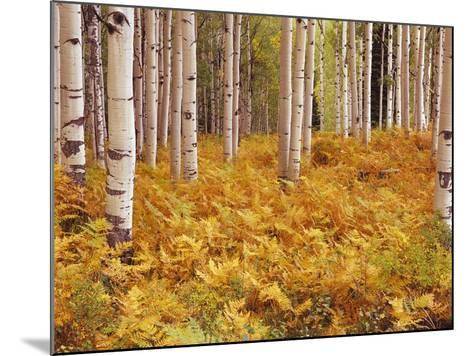 Aspen Forest in Golden Colored Ferns-William Manning-Mounted Photographic Print