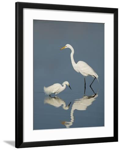Snowy and Great Egrets-Arthur Morris-Framed Art Print