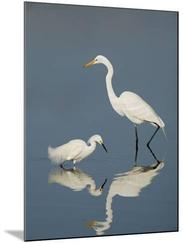 Snowy and Great Egrets-Arthur Morris-Mounted Photographic Print