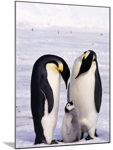 Emperor Penguins with Chick--Mounted Photographic Print