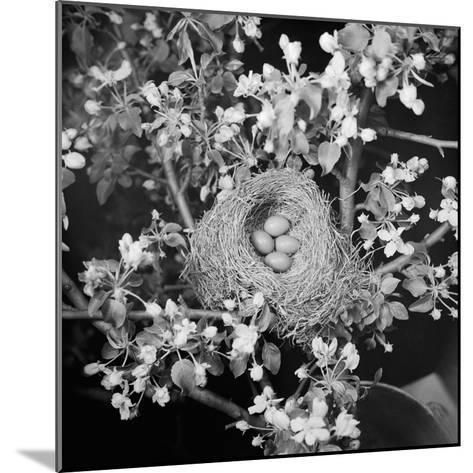 View of Robins Nest with Four Eggs-Bettmann-Mounted Photographic Print