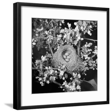 View of Robins Nest with Four Eggs-Bettmann-Framed Art Print