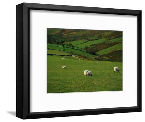 Sheep and Stone Walls in Green Pastures-Richard Cummins-Framed Art Print