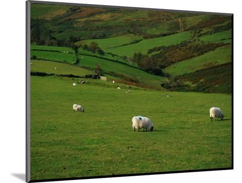 Sheep and Stone Walls in Green Pastures-Richard Cummins-Mounted Photographic Print