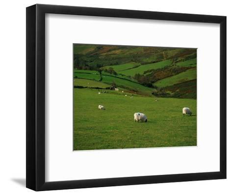 Sheep and Stone Walls in Green Pastures-Richard Cummins-Framed Art Print