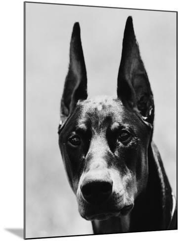 Head of Doberman Pinscher-Henry Horenstein-Mounted Photographic Print