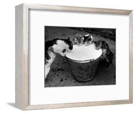 Kittens Slurping from a Pail of Milk--Framed Art Print