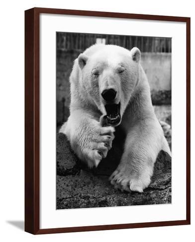 Yawning Polar Bear--Framed Art Print