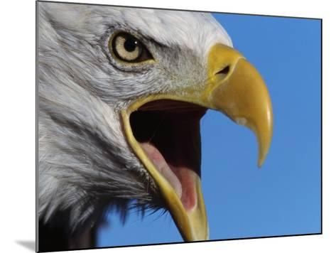 Bald Eagle Calling-W^ Perry Conway-Mounted Photographic Print