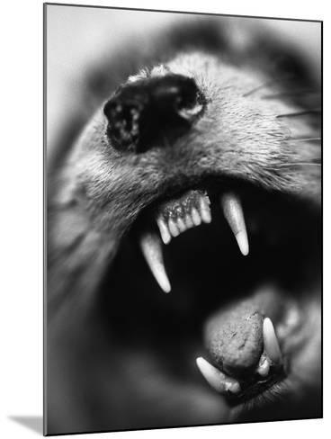 Snarling Dog-Henry Horenstein-Mounted Photographic Print