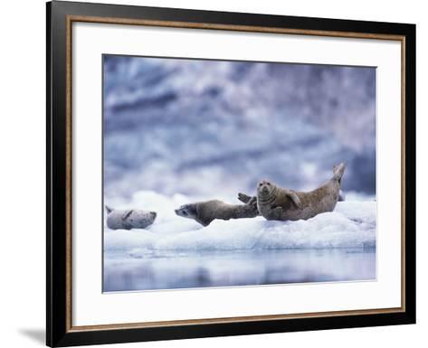 Harbor Seals on Iceberg in Glacier Bay National Park-Paul Souders-Framed Art Print
