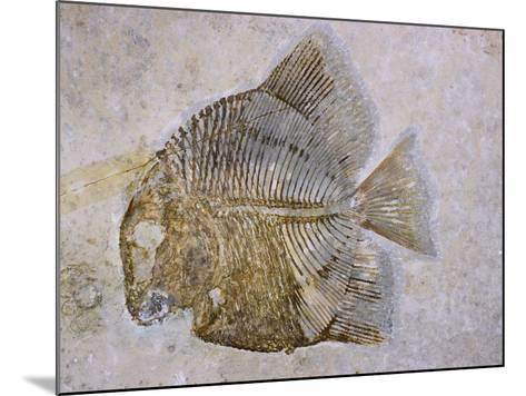 Macromesodon Macropterus Fish Fossil-Naturfoto Honal-Mounted Photographic Print
