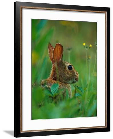 Cottontail Rabbit in the Grass-Joe McDonald-Framed Art Print