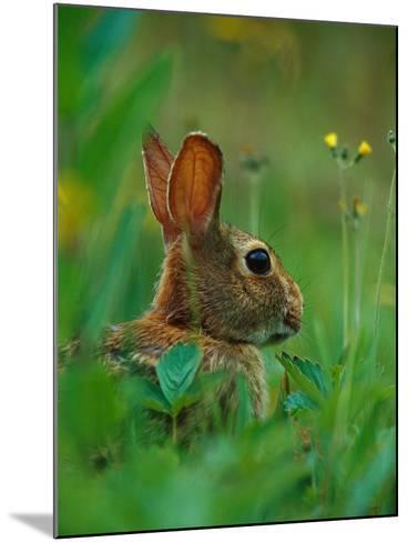 Cottontail Rabbit in the Grass-Joe McDonald-Mounted Photographic Print
