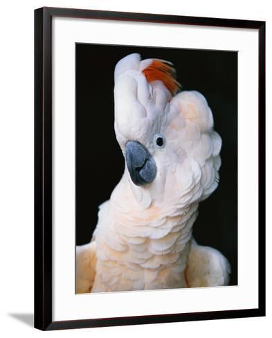 Cockatoo Displaying Crest-Chase Swift-Framed Art Print