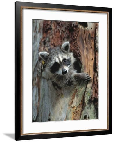 Raccoon Inside Hollow Log-Jeff Vanuga-Framed Art Print