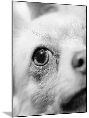 Eye of Chihuahua-Henry Horenstein-Mounted Photographic Print