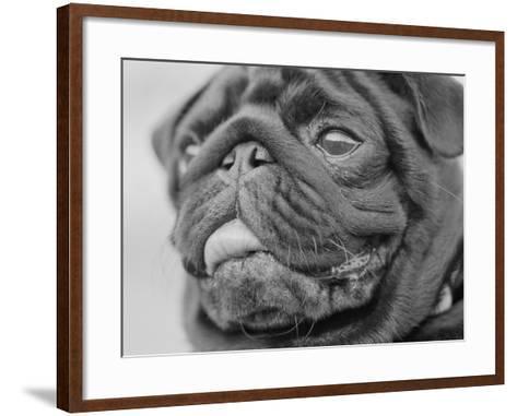 Pug Dog's Face-Henry Horenstein-Framed Art Print