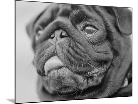 Pug Dog's Face-Henry Horenstein-Mounted Photographic Print