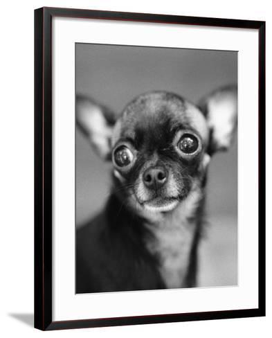Chihuahua's Face-Henry Horenstein-Framed Art Print