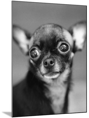 Chihuahua's Face-Henry Horenstein-Mounted Photographic Print
