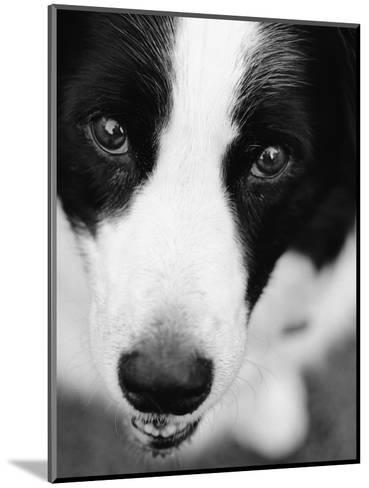 Head of Border Collie-Henry Horenstein-Mounted Photographic Print