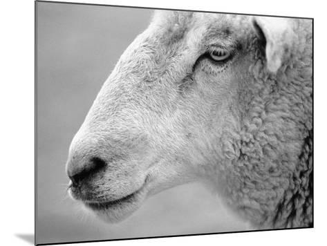 Side of Sheep's Face-Henry Horenstein-Mounted Photographic Print