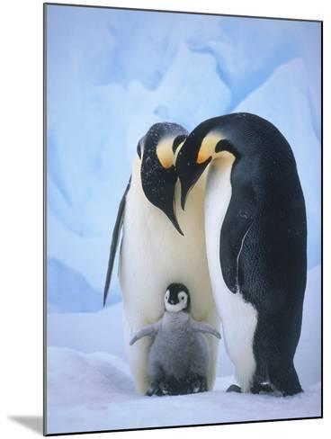 Emperor Penguins with Chick-Tim Davis-Mounted Photographic Print