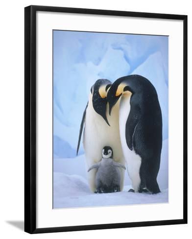 Emperor Penguins with Chick-Tim Davis-Framed Art Print