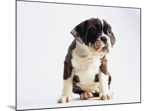 Bulldog Puppy-Jim Craigmyle-Mounted Photographic Print
