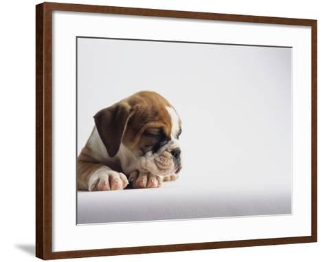 Bulldog Puppy-Jim Craigmyle-Framed Art Print