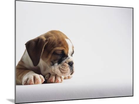 Bulldog Puppy-Jim Craigmyle-Mounted Photographic Print