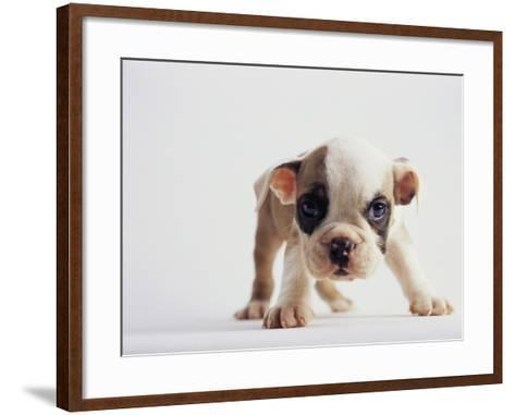 Bulldog Puppy-Jim Craigmyle-Framed Art Print