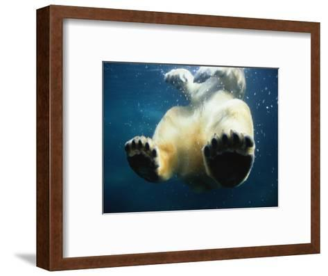 Paws of a Floating Polar Bear-Stuart Westmorland-Framed Art Print