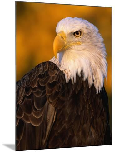 Bald Eagle-W^ Perry Conway-Mounted Photographic Print