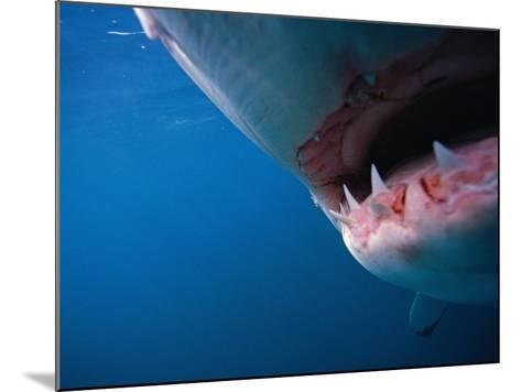 Mouth of Great White Shark-Stuart Westmorland-Mounted Photographic Print