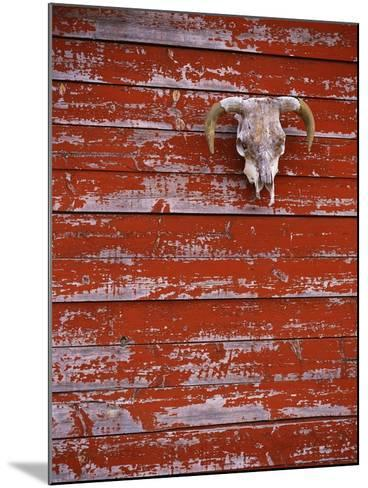 Steer Skull Hanging on a Barn Wall-Stuart Westmorland-Mounted Photographic Print