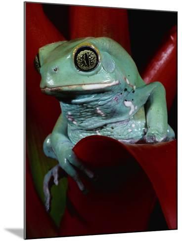 Monkey Tree Frog-David Northcott-Mounted Photographic Print