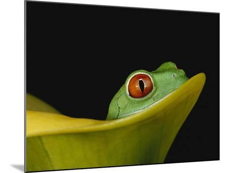 Red-Eyed Tree Frog-David Northcott-Mounted Photographic Print